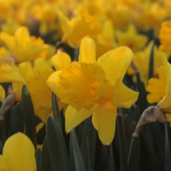 Ballade-Narcissus_veld_FAM-flower-farm-8_low