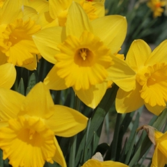 Ballade-narcis-tuin-1_low