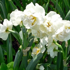 Narcissus-Bridal-Crown_Van-der-Slot-Lisse-15