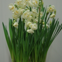 Narcissus-Bridal-Crown_Van-der-Slot-Lisse-37