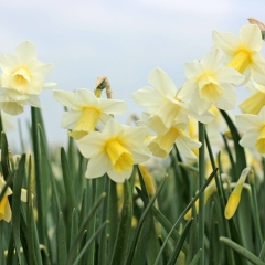 Curlew-Narcissus-veld-FAM-8-AA_low