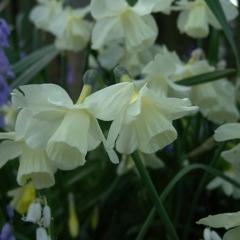 Narcissus-Curlew_Van-der-Slot-Lisse-18