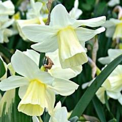 Narcissus-Curlew_Van-der-Slot-Lisse-2