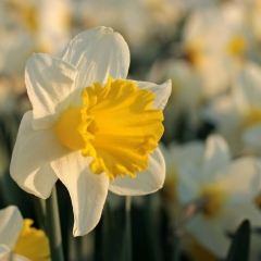 Holland-Sensation-Narcissus_veld_FAM-flower-farm-11-AA_low