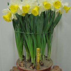 Narcissus-Holland-Sensation-_-Van-der-Slot-Lisse-120