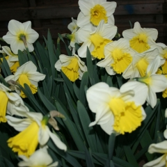 Narcissus-Holland-Sensation-_-Van-der-Slot-Lisse-322