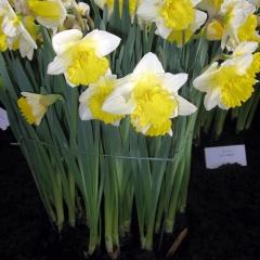 Narcissus-Las-Vegas_Van-der-Slot-Lisse-126