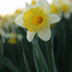 Las-Vegas-Narcissus_veld_FAM-flower-farm-11_low