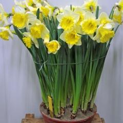 Narcissus-Las-Vegas_Van-der-Slot-Lisse-227