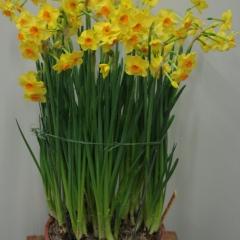 Narcissus-Martinette_Van-der-Slot-Lisse-129