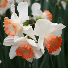 Narcissus-Pink-Charme-_-Van-der-Slot-Lisse-235