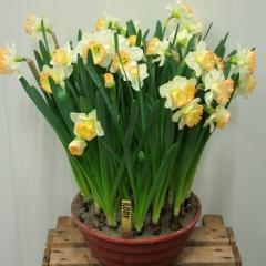 Narcissus-Romy_Van-der-Slot-Lisse-140
