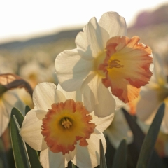 Romy-Narcissus_veld_FAM-flower-farm-23-AA_low