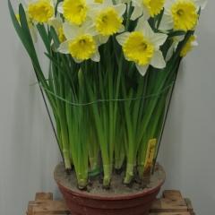 Narcissus-Stadium_Van-der-Slot-Lisse-143