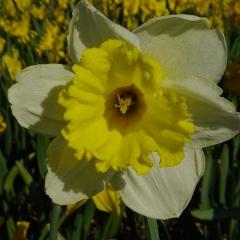 Narcissus-Stadium_Van-der-Slot-Lisse-345