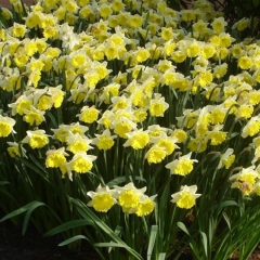Narcissus-Stadium_Van-der-Slot-Lisse-244