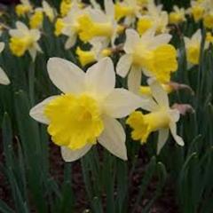 Narcissus-Topolino_Van-der-Slot-Lisse-250