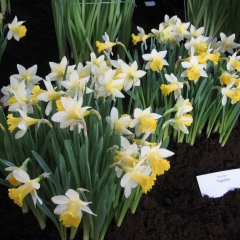Narcissus-Topolino_Van-der-Slot-Lisse-351