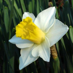 Narcissus-Yellow-Salome_Van-der-Slot-Lisse-154