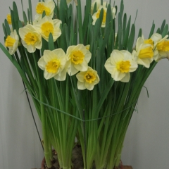 Narcissus-Yellow-Salome_Van-der-Slot-Lisse-356