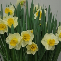Narcissus-Yellow-Salome_Van-der-Slot-Lisse-255