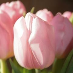 Tulipa Aafke Van der Slot Lisse