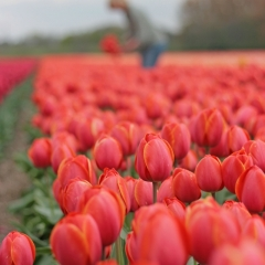 Tulipa Ad Rem - Van der Slot Lisse
