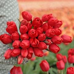 Tulipa Alcatraz - Van der Slot Lisse