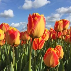 Tulipa Banja Luka - Van der Slot Lisse