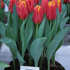 Tulipa-Choice-Van-der-Slot-Lisse-33