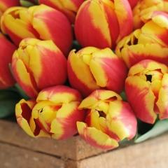 Denmark-tulipa-sfeer-FAM-flower-farm-5-AA