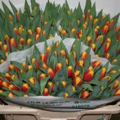 Tulipa-Denmark-Van-der-Slot-Lisse-33