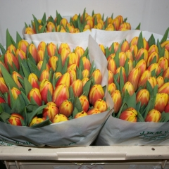 Tulipa-Dow-Jones-Van-der-Slot-Lisse-7