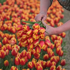 Tulipa Dow Jones van der Slot Lisse 9