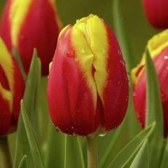 Tulipa-Dow-Jones-Van-der-Slot-Lisse-2