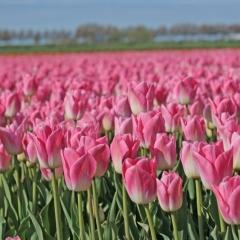 Tulip Dynasty Van der Slot Lisse 6