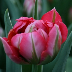 Tulipa-Flash-Point-Van-der-Slot-Lisse-22