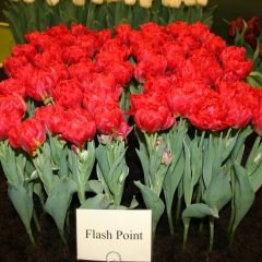Tulipa-Flash-Point-Van-der-Slot-Lisse-44