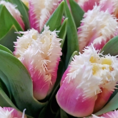 IMG_6600 tulipa Hawaii Van der Slot Lisse v2
