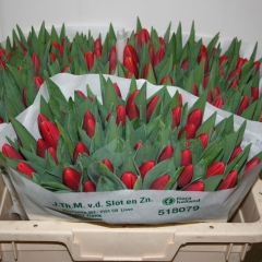 Tulipa-Kung-Fu-Van-der-Slot-Lisse-33
