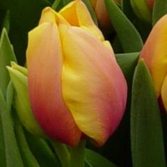 Tulipa-Marit-Van-der-Slot-Lisse-11