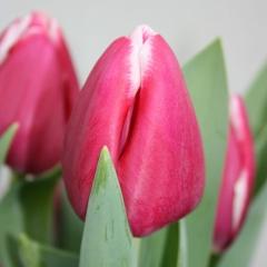 Tulipa-Masterclass-Van-der-Slot-Lisse-33