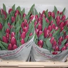 Tulipa-Masterclass-Van-der-Slot-Lisse-71