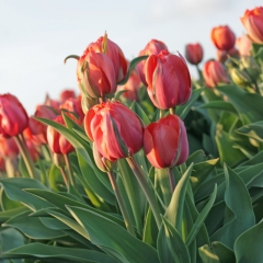 Tulipa-Queensday-IMG_4639-AA