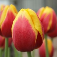 Tulipa-Rambo-Van-der-Slot-Lisse-11