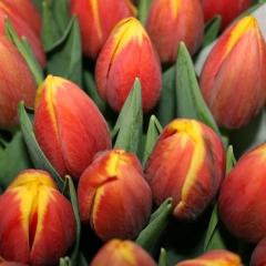 Tulipa-Rambo-Van-der-Slot-Lisse-22