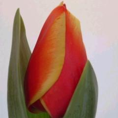 Tulipa Royal Ad Rem - Van der Slot Lisse