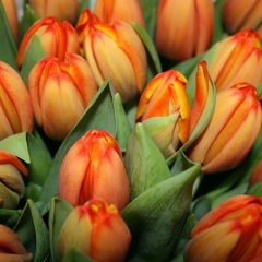 Tulip-TripleA-Van-der-Slot-Lisse-54