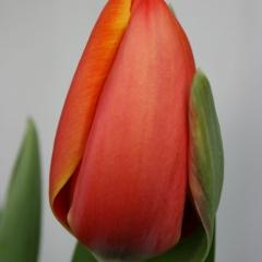 Tulip-TripleA-Van-der-Slot-Lisse-96