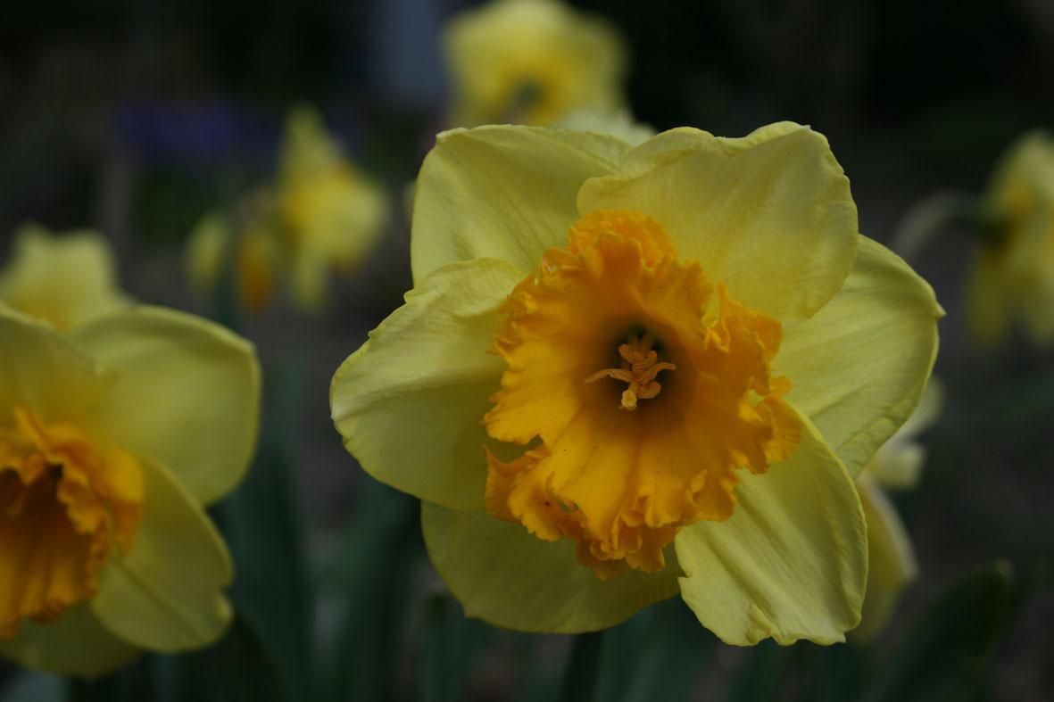 Narcissus Diverse zaailingen_Van der Slot Lisse (10)57